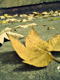 Pageltę medžių lapai